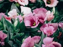 Close-up van het bloeien Lisianthus of Eustoma-installaties in tuin stock fotografie