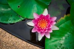 Close-up van het bloeien witte en roze luim waterlily of lotusbloembloem Royalty-vrije Stock Fotografie