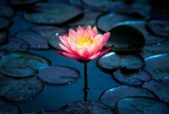 Close-up van het bloeien witte, rode en roze luim waterlily of lotusbloembloem Royalty-vrije Stock Fotografie
