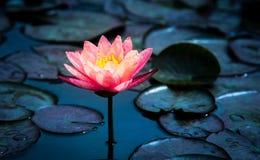 Close-up van het bloeien witte, rode en roze luim waterlily of lotusbloembloem Stock Foto