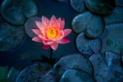 Close-up van het bloeien witte, rode en roze luim waterlily of lotusbloembloem Stock Afbeelding