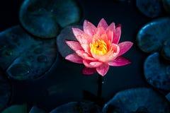 Close-up van het bloeien witte, rode en roze luim waterlily of lotusbloembloem Royalty-vrije Stock Foto