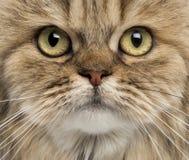Close-up van het Britse Longhair onder ogen zien Royalty-vrije Stock Afbeeldingen