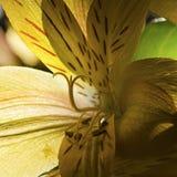 Close-up van het Doorzichtige Gele de bloemblaadjes van de Daglelie silhouetteren in de schaduw gestelde meeldraad en carpel royalty-vrije stock foto
