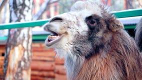 Close-up van het gezicht van een kameel stock footage
