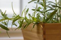 Close-up van het gezonde rozemarijninstallatie groeien binnen in een bamboe po Stock Foto