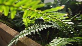 Close-up van het groene varen groeien in serre De mooie groene varenbladeren worden verlicht door de stralen van de zon makend hu stock videobeelden