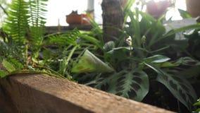 Close-up van het groene varen groeien in serre De mooie groene varenbladeren worden verlicht door de stralen van de zon makend hu stock footage