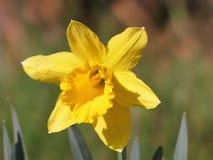 Close-up van het hoofd van de gele narcisbloem in de lente royalty-vrije stock afbeelding