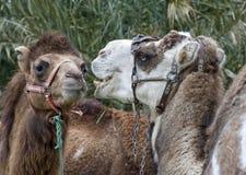 Close-up van het Hoofd en de Schouders van Twee Kamelen Royalty-vrije Stock Afbeelding