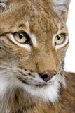 Close-up van het hoofd van een Europees-Aziatische Lynx Royalty-vrije Stock Foto's