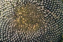 Close-up van het hoofd van een zonnebloem Royalty-vrije Stock Afbeelding