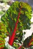 Close-up van het jonge groene biet groeien in grond in de tuin royalty-vrije stock afbeeldingen