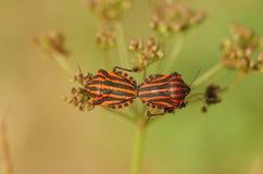 Close-up van het koppelen van insecten met rode en zwarte strepen Royalty-vrije Stock Foto