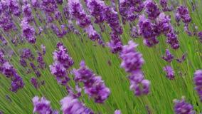 Close-up van het kweken van bloeiende lavendel op wind, geneeskrachtig kruid stock videobeelden