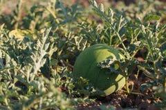 Close-up van het kweken van groene watermeloen op gebied van organisch landbouwbedrijf Royalty-vrije Stock Afbeelding