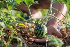 Close-up van het kweken van kleine groene gestreepte watermeloen in farmer& x27; s hand Stock Foto