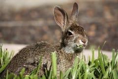 Close-up van het leuke konijn die van het katoenstaartkonijnkonijntje gras eten Stock Foto's