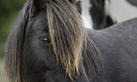 Close-up van het loonking van een zwarte poney royalty-vrije stock afbeeldingen