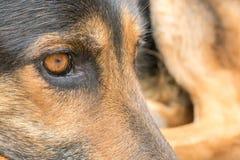 Close-up van het oog van een het liggen Duitse herder met zijn achterste benen op de achtergrond stock foto's