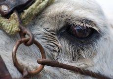 Close-up van het Oog van Kamelen Royalty-vrije Stock Foto's