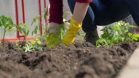 Close-up van het Planten van Tomaten in de Grond stock footage