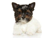 Close-up van het puppy van Biewer York Stock Afbeeldingen