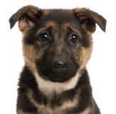 Close-up van het puppy van de Duitse herder, 3 maanden oud Stock Fotografie