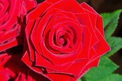 Close-up van het rode roze hoofd Stock Afbeeldingen