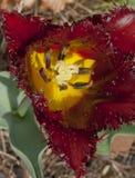 Close-up van het slaan van tulp Stock Afbeelding
