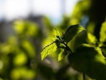 Close-up van het verse, groene pepermunt groeien binnen met uit nadrukachtergrond die wordt geschoten royalty-vrije stock foto's