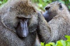 Close-up van het vrouwelijke verzorgende mannetje van de olijfbaviaan stock fotografie