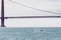 Close-up van het zeldzame waarnemen van de walvis van het moedergebochelde, Megaptera-novaeangliae, die in San Francisco Bay dich Royalty-vrije Stock Foto