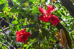 Close-up van hibiscusbloem op groene achtergrond royalty-vrije stock foto's