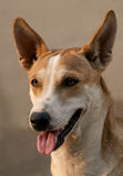 Close-up van hond Royalty-vrije Stock Fotografie