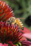 Close-up van Honey Bee op een Graanbloem Stock Foto
