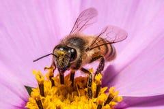 Close-up van honingbij in helder geel stuifmeel wordt behandeld dat royalty-vrije stock afbeeldingen