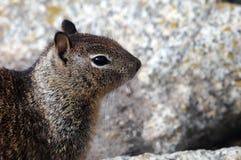 Close-up van hoofd van een grondeekhoorn met rots op de achtergrond Stock Afbeeldingen