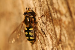 Close-up van hoverfly Stock Foto's