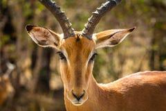 Close-up van Impalaram in Afrikaanse struik royalty-vrije stock fotografie