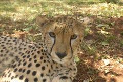 Close-up van Jachtluipaard in dierlijke faciliteit van Nairobi, Kenia, Afrika bij de het Wilddienst van KWS Kenia royalty-vrije stock foto