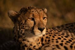 Close-up van jachtluipaard gebaad in gouden gloed royalty-vrije stock afbeelding