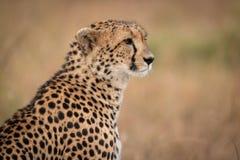 Close-up van jachtluipaardzitting in grasrijke vlakte royalty-vrije stock foto's