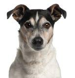Close-up van Jack Russell Terrier, 12 jaar oud Stock Foto's
