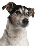 Close-up van Jack Russell Terrier, 12 jaar oud Stock Fotografie