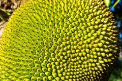 Close-up van jackfruit stock afbeelding