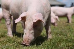 Close-up van jong biggetje op groene achtergrond bij varkensfokkerij Royalty-vrije Stock Afbeelding