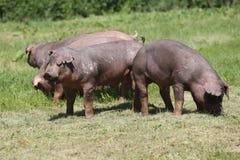 Close-up van jonge duroc varkens op de weide stock foto