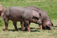 Close-up van jonge duroc varkens op de weide royalty-vrije stock afbeeldingen