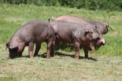 Close-up van jonge duroc varkens op de weide royalty-vrije stock foto's